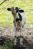 Vaca y moscas en ella imagenes de archivo