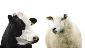 Vaca y ovejas Foto de archivo