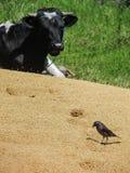Vaca y pájaro en el campo Fotos de archivo