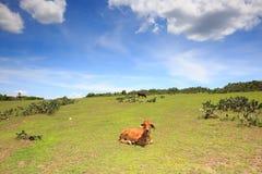 Vaca y pastos imagenes de archivo