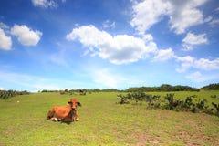 Vaca y pastos fotografía de archivo