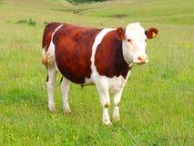 Vaca y prado Imagenes de archivo