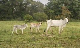 Vaca y terneras en una granja en Pantanal, el Brasil Fotos de archivo