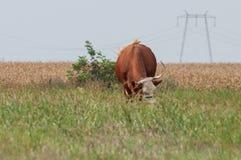 Vaca y un campo de maíz en fondo Imagen de archivo