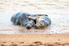 Vacances Romance Paires d'élevage de joints gris étreignant sur le sable Images libres de droits