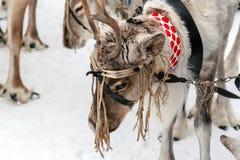 Vacances traditionnelles des peuples de la Sibérie Équipe de rennes photographie stock