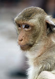 Vacant monkey Royalty Free Stock Image