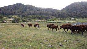 Vacas almacen de metraje de vídeo