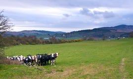 Vacas Fotografia de Stock