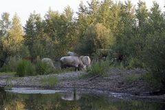 vacas Foto de Stock Royalty Free