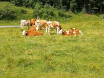 vacas foto de stock