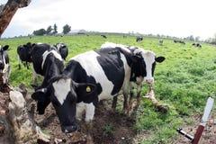 Vacas fotografia de stock royalty free