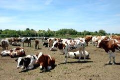 Vacas Imagen de archivo libre de regalías