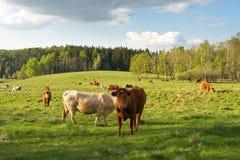 Vacas Fotos de Stock