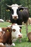 Vacas imágenes de archivo libres de regalías