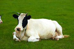 Vacas fotografía de archivo libre de regalías