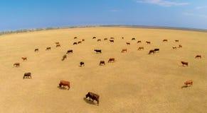 vacas Imagem de Stock Royalty Free