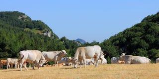 Vacas Imagen de archivo
