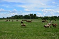 vacas Imagem de Stock