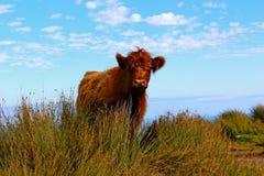 vacas Imagens de Stock Royalty Free