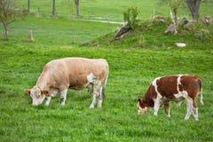 Vacas Fotos de archivo
