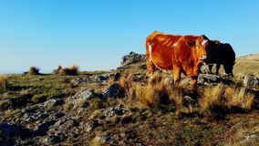 Vacas Fotografía de archivo