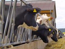 Vacas Fotos de archivo libres de regalías