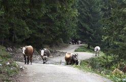 Vacas Imagenes de archivo