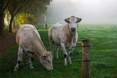 vacas Imagens de Stock