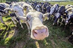 Vacas adoráveis que olham com interesse na câmera fotos de stock royalty free