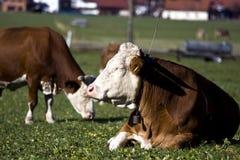 Vacas alemãs felizes na grama verde Imagens de Stock