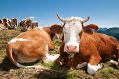 Vacas alemanas Imágenes de archivo libres de regalías
