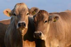 Vacas Allgäu Alemania Fotografía de archivo libre de regalías