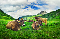 Vacas alpestres Imagen de archivo libre de regalías