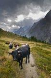 Vacas alpestres Imagenes de archivo