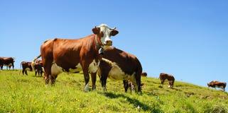 Vacas alpestres en verano fotos de archivo libres de regalías