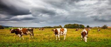 Vacas alpestres I Imagen de archivo