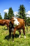 Vacas alpinas Fotos de archivo libres de regalías