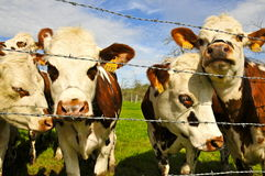 4 vacas atrás de Barbwire Fotografia de Stock Royalty Free