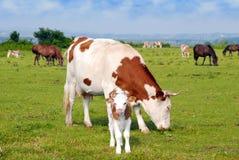 Vacas becerro y caballos Imagen de archivo