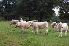 vacas bezerras gado Imagem de Stock Royalty Free