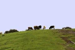 Vacas blancas blancas y negras rojas Foto de archivo libre de regalías