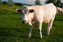 Vacas blancas en Bourgogne francés Fotografía de archivo libre de regalías