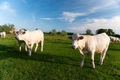 Vacas blancas en Bourgogne francés Foto de archivo libre de regalías