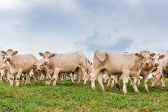 Vacas blancas en el campo Foto de archivo libre de regalías