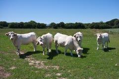 Vacas blancas en las tierras de labrantío bretonas de Francia Foto de archivo