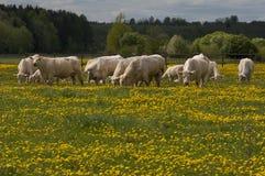 Vacas blancas que pastan Imagen de archivo