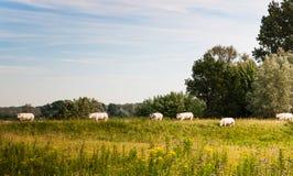 Vacas blancas que recorren en un dique holandés Fotografía de archivo libre de regalías
