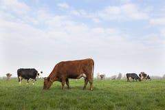 Vacas blancas rojas y negras en prado en los Países Bajos Foto de archivo