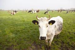 Vacas blancas rojas y negras en prado en los Países Bajos Imágenes de archivo libres de regalías